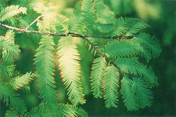 Дърво с аромат на ромови бонбони повишава потентността в Балчик