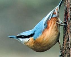 Горската зидарка е птица на 2006 г.