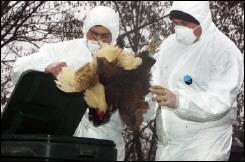 Две нови огнища на птичи грип в Румъния