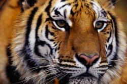 Тигър умъртви крадец, преследван от полицията в зоопарк