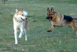 Дебне ни изключително опасна и заразна кучешка болест