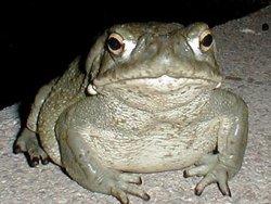 Арестуваха халюциногенна жаба, собственикът й я лижел