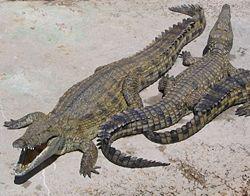 Вече всичко в родословието на крокодилите е ясно