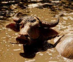 Отдъхнахме си! Индонезия ще ни помага с водните биволи