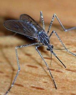 Търг за мъртви комари