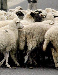 Ситроен направи 14 овце на курбан