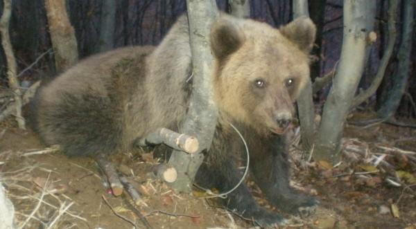 Ново нападение на мечка, този път изяла овца