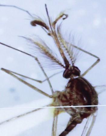 Нов комар затруднява борбата срещу маларията