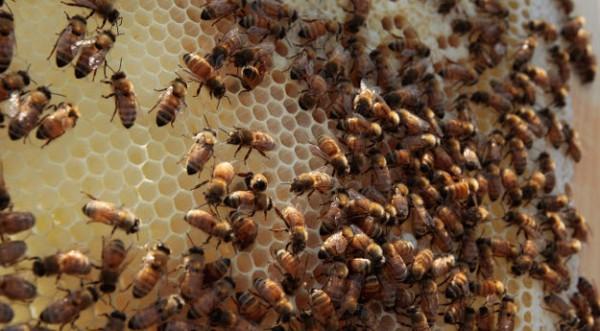 Суперпчели ще спасяват човечеството от глад