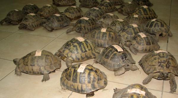 Настаниха костенурките на Рашков в спасителен център