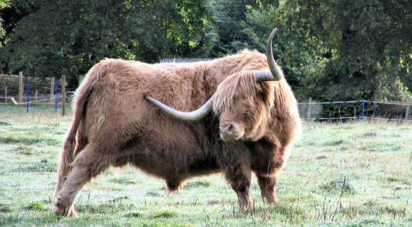 Крави в траур! Плодовитият Джоко се спомина