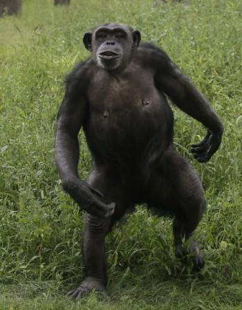 Кое е накарало маймуните да проходят? Кражбите!