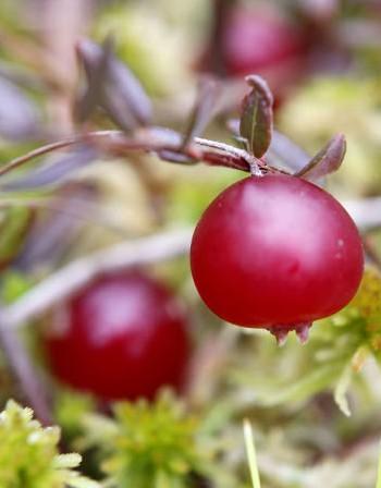Горските плодове намаляват риска от Паркинсон
