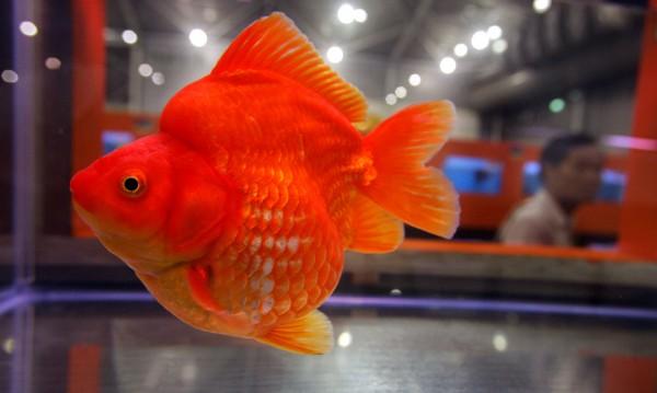 Мъж уби съседа си, уморил златната му рибка