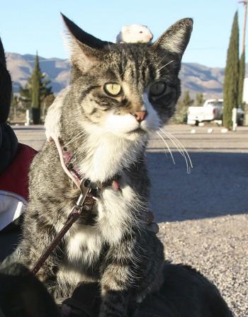 Котките може да помогнат в борбата срещу ХИВ
