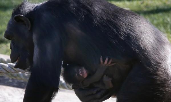 Любовта на шимпанзетата минава през стомаха