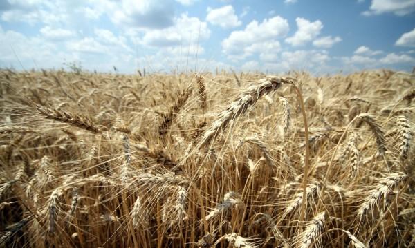 Топлото време опасно за зърно и овошки, рай за гроздето