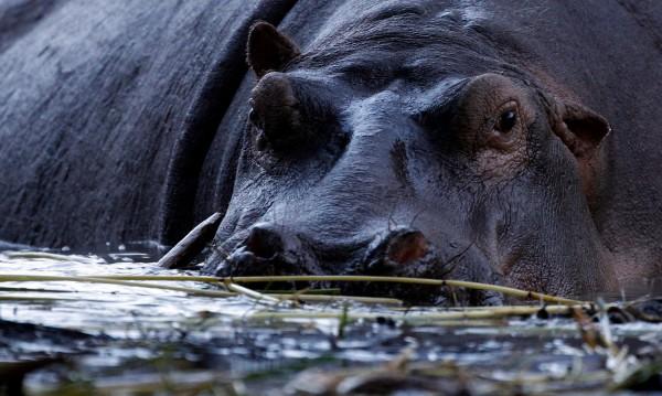 Героичен хипопотам спаси антилопа от крокодил