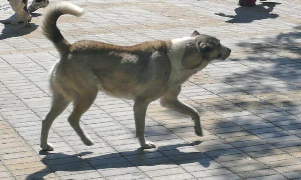 Кучета нападнаха и нахапаха 9-годишно момиче в Плевен