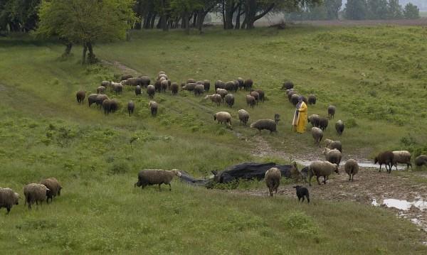 Осъдиха овчар, точил субсидии с декларирани чужди земи