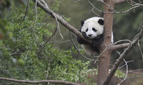 И пандите обичат сладкото