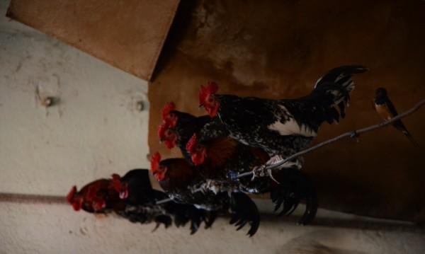 Крадци задигнаха 130 кокошки и смески от птицеферма