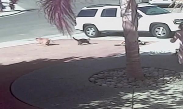 Котка спаси момченце от съседското куче