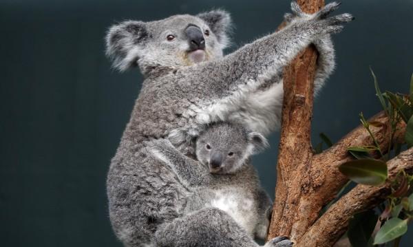 Стволът на дървото служи като климатик за коалата