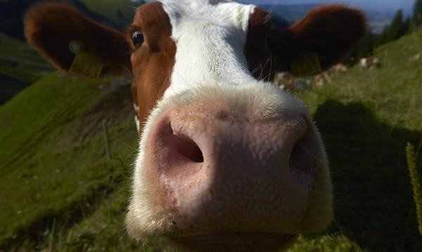 Крава се мисли за куче