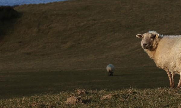 След дълги изследвания дешифрираха генома на овцата