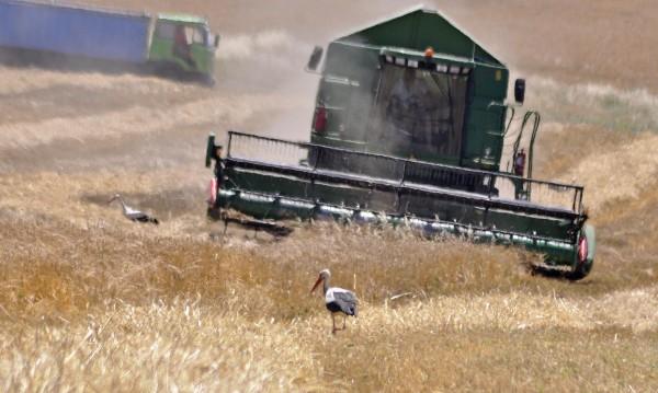 Зърното няма да поскъпва, реколтата е добра