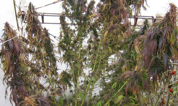 Конфискуваха 23 канабисови растения от частен имот