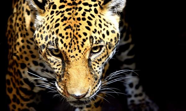 Експерт: Реакцията при бягството на ягуара е била правилна
