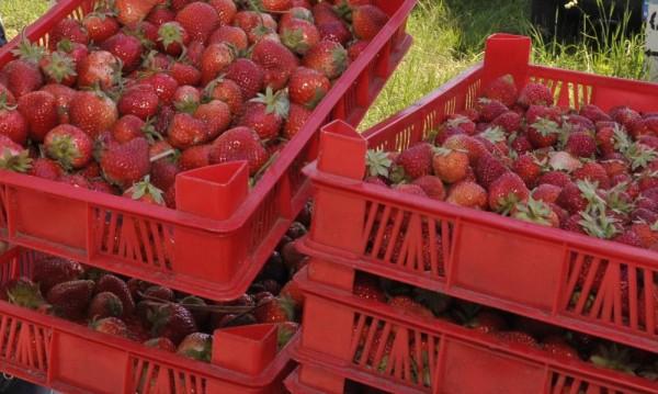 Търсят наши берачки на ягоди в Испания