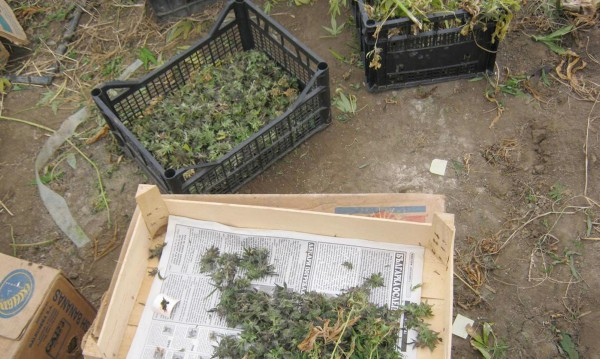Оранжерии за канабис разбити в Монтанско