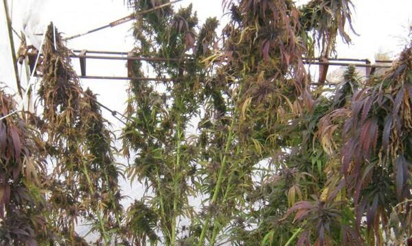 Чили ожъна първата реколта марихуана