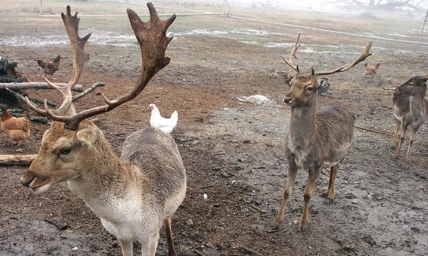 Студът погубил 30-те елена в Балкана