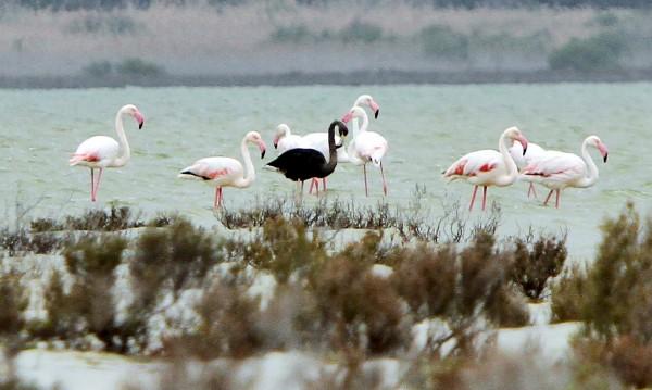 Черно вместо розово: Рядко фламинго в Кипър
