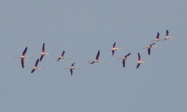 Цяло ято фламинго долетя в Бургас