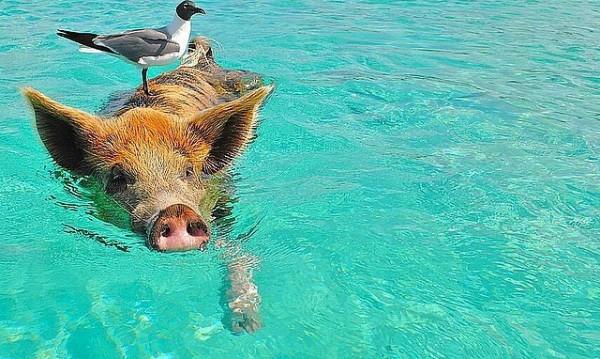 Знаете ли за прасетата, които плуват на Бахамите?