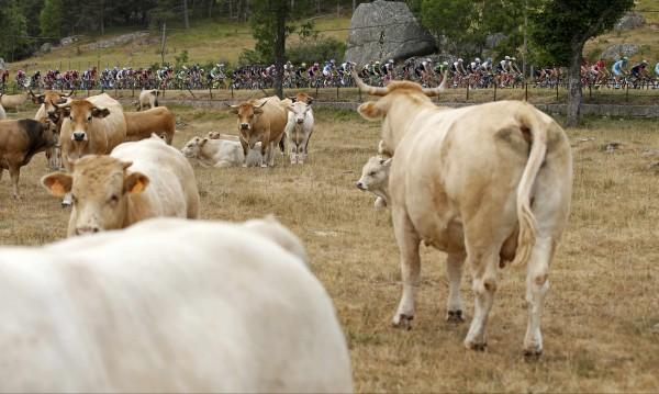 Армия се притече на помощ на ожаднели крави