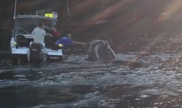 Отчаян, но дружелюбен кит ''помоли'' рибари за помощ