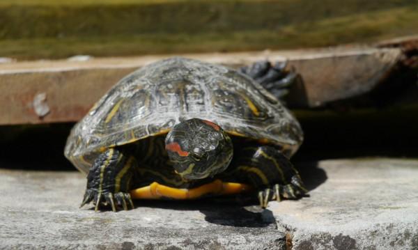 """Пуснаха 17 костенурки в защитена зона """"Драгоман"""""""
