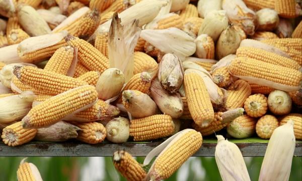 2/3-ти от членките на ЕС не искат ГМО