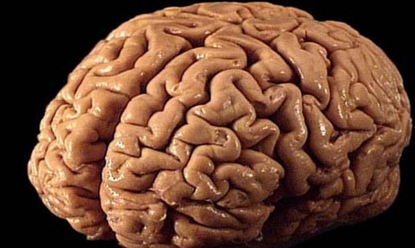 Знаете ли, че... и в мозъка има тлъстинки?