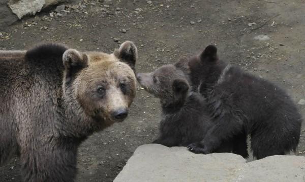 Десетина мечки скитат из Витоша далеч от хората