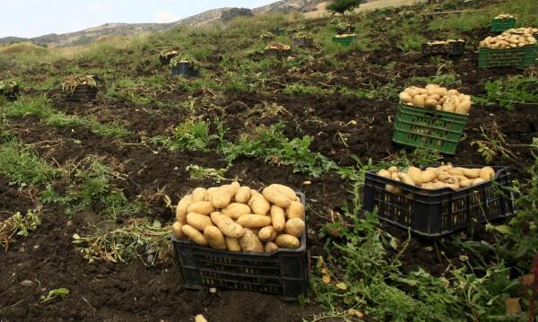 Самоковски, френски... и марсиански картофи!