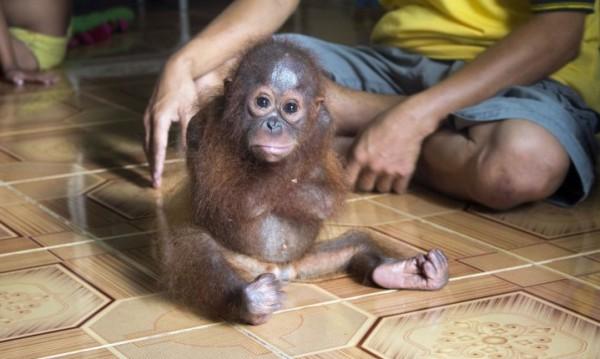 Тъжна прегръдка: Маймунче тъгува за майка си