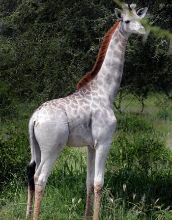 Заснеха рядък бял жираф в Танзания