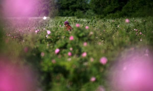 В страната на розите: Розовото масло – химия!